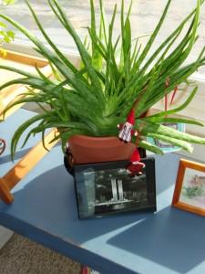 aloe vera plant in full winter sunlight